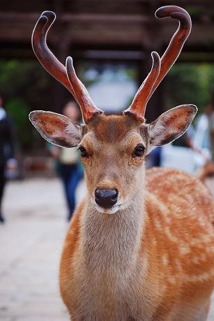 先端がくねっとした角の鹿