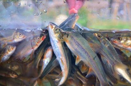 お魚トレーナーになろう タッチング水槽 アクアリウムさがみはら.jpg