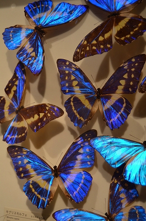 キプリスモルフォ蝶 生命の星地球博物館.jpg