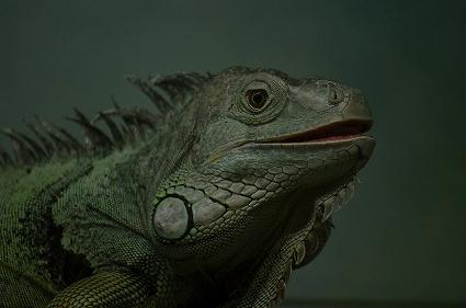 グリーンイグアナ 福山市立動物園爬虫類館.jpg
