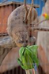 ケープハイラックス 福山市立動物園.jpg