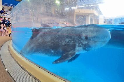 ハナゴンドウ 新江ノ島水族館イルカショースタジアム.jpg