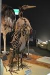 ペンギンモドキ 生命の星地球博物館.jpg