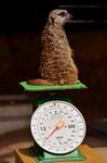 ミーアキャットの体重測定 福山市立動物園.jpg