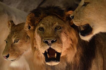 ライオンのはく製 生命を考える 生命の星地球博物館.jpg