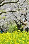 三川公園 土手の桜と菜の花.jpg