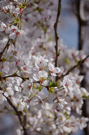 三川公園 桜.jpg