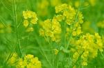 三川公園 菜の花.jpg