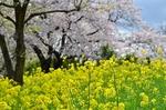 三川公園桜と菜の花の土手.jpg