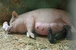 今日生まれたばかりの子豚と母豚.jpg