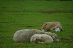 放牧場で眠る羊 服部牧場.jpg