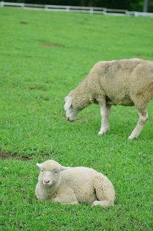 放牧場の羊 服部牧場.jpg