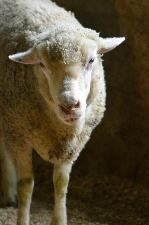 羊 服部牧場.jpg