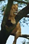 雌ライオン 樹上 サファリエリア ライオンエリア 富士サファリパーク.jpg
